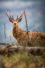 _E4A8186 (Patrick d'Alsace) Tags: france forêt faune animaux alsace animal cerfs automne