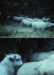 Silence (laura makabresku) Tags: laura makabresku photography lambs dark darkness woods mystic film analogue 35mm photo
