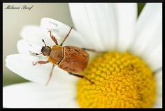 Hoplie sur marguerite (Melanie Beuf) Tags: insect insecte marguerite hoplie macro coléoptère