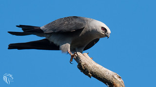 Mississippi Kite at the Jersey Shore | 2017 - 3