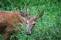 White-tailed Deer (Phil Spell) Tags: outdoor animal nature wildlife canon deer mammal maryland usa plants grass unitedstates northamerica whitetaileddeer odocoileusvirginianus nationalcapitalregion antlers cocanal