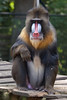 Rhenen - Ouwehands Zoo 2017-8463 (Quistnix!) Tags: 2017 ouwehandszoo dierenpark zoo mandril