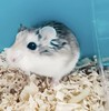 Tiny the hamster (brett665) Tags: hamster tiny pet furry whiskers cute rodent