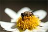 Honey Fountain (Hindrik S) Tags: bee bij ealjebij honingbij huningbij honeybee biene yellow giel geel gelb white wyt weiss insect ynsekt flower blom blume bloem heart focus light ljocht skepping schepping creation schöpfung sonyphotographing sony sonyalpha a57 α57 slta57 tamron tamronspaf90mmf28dimacro 90mm 2017 nature natuur natuer naturewatcher platinumheartaward amount
