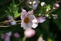 Anemone hupehensis (Karabelso) Tags: flower blossom roses nature flora green blume blüte rosa natur staude nahaufnahme panasonic lumix gx7