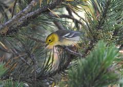 Hermit Warbler (Christopher Lindsey) Tags: hermitwarbler wrightslake eldoradocounty california birds birding