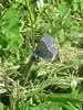 L'Argus bleu (mâle) (Sur mon chemin, j'ai rencontré...) Tags: argusbleu azurécommun lycaenidae papillons nature