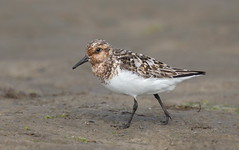 Sanderling Nickerson beach ny. (mandokid1) Tags: canon 1dx ef400mmdoii birds shorebirds nickerson