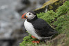 Puffin in the Rain (finor) Tags: sony alpha a6500 ilce6500 sal70400g2 nature wildlife animal puffin papageientaucher latrabjarg iceland explored