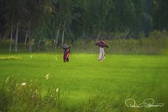 green hearts (TARIQ HAMEED SULEMANI) Tags: sulemani tariq tourism trekking tariqhameedsulemani travel concordians crops pakistan punjab photography saveearth