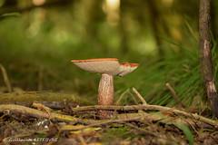 Champignons (Guillaume7762) Tags: bois champignon bolet orange bokeh