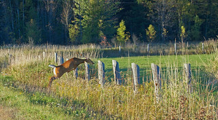 Deer jumping fence