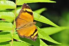 Papillon Tropical (Pomerol) Tags: animal nature papillon jaune orange macro da 300mm eye vert pentax k3 beaute beauté beauty butterfly couleur insecte wildlife color bordeaux green bokeh life