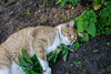 Ziggy Cat - Catnip Antics 6-1-17 23 (anothertom) Tags: cats ziggycat catnip catnipplant yard funnycat drunk sonyrx100ii 2017