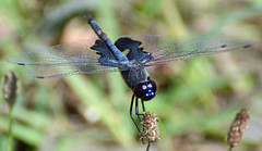Black Saddlebags Dragonfly (male) (ctberney) Tags: blacksaddlebags dragonfly tramealacerata insect nature