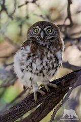 Pearl-Spotted Owl (fascinationwildlife) Tags: animal bird birding predator wild wildlife nature natur national park pearl spotted owl tree transfrontier kalahari kgalagadi south africa ktp eule vogel raptor raubvogel