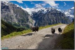 Chèvres rayées des Grisons en balade (jamesreed68) Tags: chèvres mountain schrechorn bachalp ultra trail paysage nature neige glace suisse schweiz oberland bernois canon eos 600d mattenberg sommet altitude alpes grisons grindenwald