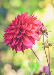 Beauty in Summer (@isurujfoto) Tags: flower summer colorful color macro closeup pink pretty nikon d610 70200 fl dof blomma botaniska trädgården flora floral gothenburg göteborg botanical garden sweden sverige