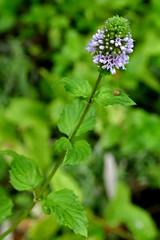 *Mentha spicata, (M. spicata var. s.), SPEARMINT. (openspacer) Tags: jasperridgebiologicalpreserve lamiaceae menthaspicata nonnative riparian spearmint jrbp