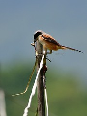 Long-tailed Shrike 棕背伯勞 (Jeffreycfy) Tags: shrike birds birding animals wildlife nature nikon d500 nikkor200500mmf56e lanidae laniusschach 伯勞科 鳴禽