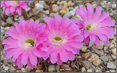 Summer Cactus Blooms (tdlucas5000) Tags: cactus blooms flower cactusflowers echinopsis pink largeflowers sigma105 closeup