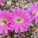 Summer Cactus Blooms