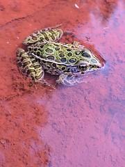 Northern Leopard Frog (U.S. Fish and Wildlife Service - Midwest Region) Tags: frog 2017 mn nature fall seasons amphibian minnesota wildlife autumn animal september summer