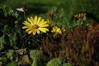 The yellow osteospermum