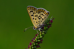 Lycaena tityrus (8) (JoseDelgar) Tags: insecto mariposa lycaenatityrus 425870188736493 josedelgar naturethroughthelens coth coth5 thegalaxy sunrays5 fantasticnature ngc npc