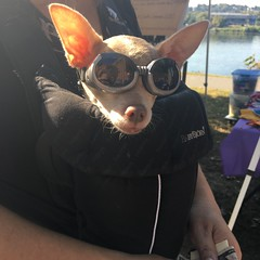 Cool dog at Woofstock! (Star Cat) Tags: woofstock dog goggles