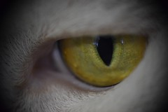 Cat Eyes (Tanja-Milfoil) Tags: closeup animal tier hauskatze katze picture shot aufnahme tanja vergrösern filter nikond5300 augen bernstein closer nahaufnahme dcr250 raynox katzenauge katzenaugen cats eye eyes cat
