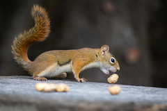 Don't Drop It (Adam Curran) Tags: saintjohn saint john newbrunswick new brunswick nbphoto nikond3300 nikon d3300 sigma squirrel peanut nut outdoors outdoor animal food nature dof outside canada