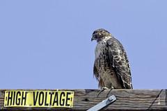 Hawk on Post #45 (lennycarl08) Tags: pointreyesnationalseashore pointreyes marincounty california northerncalifornia wildlife hawk redtailedhawk raptor birdofprey