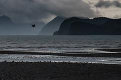 seward (Selzzi) Tags: alaskalumixfall seward shore bird