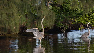 Great Blue Herons, Florida, FL IMG_2352