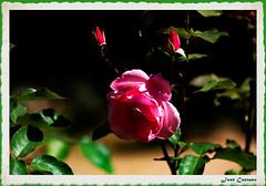 IMG_4288_Pink Rose (Ajax_pt/Zecaetano) Tags: roses rosas canon7d flowers tamron70200 parque
