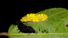 Caterpillar with plumes, Apatelodidae? (Ecuador Megadiverso) Tags: amazon andreaskay apatelodidae caterpillar ecuador rainforest tamanduareservaflores