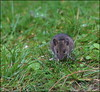 Chance encounter! (catb -) Tags: silentvalley animal down mouse fieldmouse