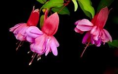 Fuchsia Fun (Pufalump) Tags: fuchsia pink black petals stamen pistil pollen