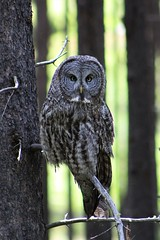 Great Grey Owl (ThroughMyLensz) Tags: grand teton national park