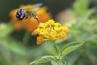 Blue Banded Bee and a orange flower.