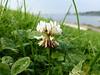 Weißklee (Martin To.) Tags: sommerblume wiesenblume wildblume flora biotop blume flower martin tolle nature natur wiese makro pflanze norddeutschland germany garten weisklee trifolium repens klee bauer bauernblume