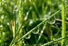 pearls of Saturday morning (S.Garten) Tags: dewdrops dew natur green drops pearls magic moments sun mirrow grass three landscape silence morning wet mystic