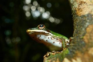 Copper-cheeked Frog (Hylarana labialis), Singapore