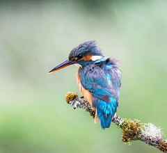 Kingfisher. (Nigey2) Tags: