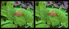 Longwood Gardens - Epargyreus clarus - Silver-spotted Skipper 2 - Crosseye 3D (DarkOnus) Tags: crossview crosseye pennsylvania buckscounty panasonic lumix dmcfz35 3d stereogram stereography stereo darkonus closeup macro insect longwood gardens epargyreus clarus silverspotted skipper butterfly