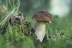 Boletus edulis - Eeekhoorntjesbrood (wietsej) Tags: gevaertsnoord beernum belgium fungus paddestoel mushroom sony sel100f28gm stf 100 boletus edulis eeekhoorntjesbrood wietse jongsma