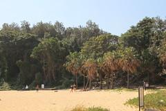 Shelly Beach with  palms (Livistona australis) (Poytr) Tags: shellybeach manly sydneyrainforest sydneyaustralia livistonaaustralis livistona littoralarf littoralrainforest littoralrainforestwiththecabbagetreepalm arfp nswrfp qrfp vrfp beach sand tree sky rainforest arecaceae