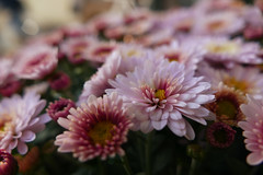 crowded (nelesch14) Tags: flower summer autumn macro closeup blossom sun sunset evening crowd garden