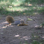 Squirrels in Ann Arbor at the University of Michigan on the last days of Summer (September 20th & 21st, 2017) thumbnail
